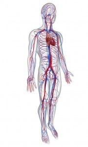side view circulatory system with heart
