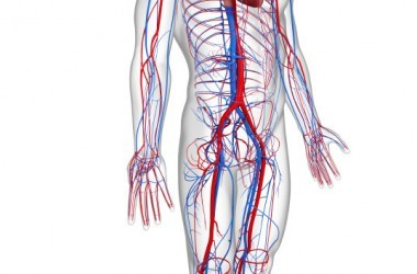 side view circulatory system with heart boost circulation get better blood flow