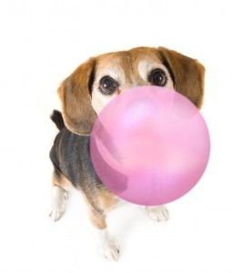 Beagle dog blowing bubble gum with sugar substitute xylitol bubble
