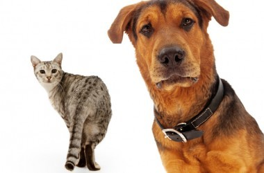 A closeup of an adult large breed dog that is coming out from the corner of the image with a cat walking in the background and looking at him