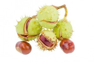 Branch with several ripe horse chestnuts in its green cracked prickly shell and two cleared from husk chestnuts separately on a light background. Isolation.