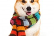 Corgi in scarf ready for the winter weather.