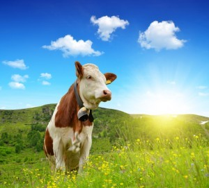 Cow in the meadow produces organic milk and meat