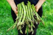 Woman holding bunch of inulin rich asparagus which fights obesity and metabolic syndrome