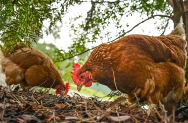 chickens with outdoor access will have food label free range