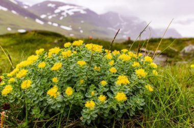 Rhodiola rosea plant known as arctic root growing in mountains
