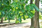 Camptotheca acuminata tree bark could help kill pancreatic cancer tumors