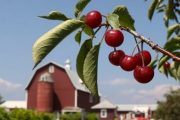 Montmorency cherries which fight metabolic syndrome